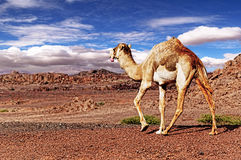 骆驼和沙漠 免版税库存照片