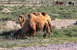 骆驼和马在哈萨克斯坦干草原  免版税图库摄影