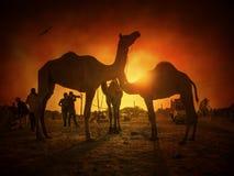 骆驼和鸟剪影在普斯赫卡尔 库存图片