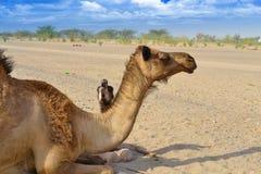 骆驼哭泣的自由他的小母亲 库存照片