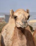 骆驼唯一独峰驼的小丘 库存照片