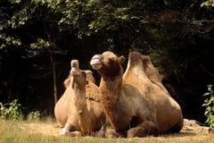 骆驼啼声 免版税库存图片