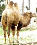 骆驼国内Bactrian骆驼属bactrianus 库存图片