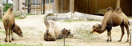 骆驼国内Bactrian骆驼属bactrianus 免版税库存照片