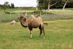 骆驼在一个徒步旅行队公园在英国 免版税图库摄影
