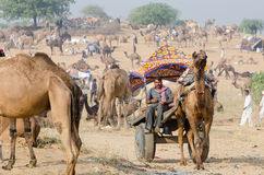 骆驼在公平普斯赫卡尔的骆驼,拉贾斯坦,印度的推车乘驾 免版税库存照片