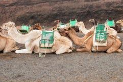 骆驼在兰萨罗特岛 免版税库存照片