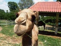 骆驼在农场 库存照片