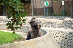 骆驼在动物园里,摆在为访客 免版税库存照片