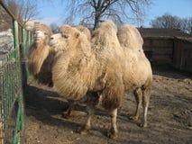 骆驼在动物园里 免版税图库摄影