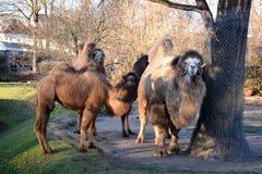 骆驼在动物园,德国里 库存图片