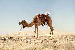 骆驼在卡塔尔沙漠 免版税库存照片