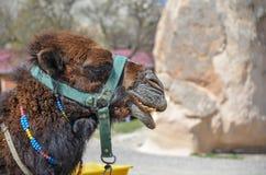 骆驼在卡帕多细亚在土耳其 库存照片