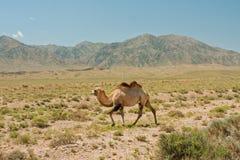 骆驼在原野走反对山 免版税库存照片