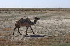 骆驼在哈萨克斯坦沙漠  库存图片