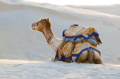 骆驼在塔尔沙漠, Jaisalmer,印度 库存照片