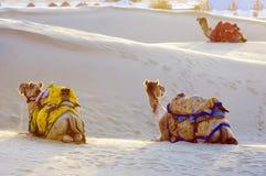 骆驼在塔尔沙漠, Jaisalmer,印度 图库摄影