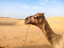骆驼在塞内加尔 免版税库存图片