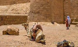 骆驼在多山南西奈 库存图片