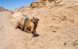 骆驼在多山南西奈 免版税库存照片