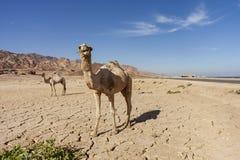 骆驼在宰海卜 免版税库存图片