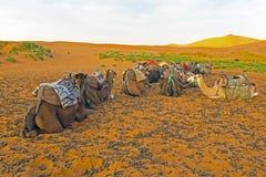 骆驼在尔格Chebbi在摩洛哥离开 免版税库存图片