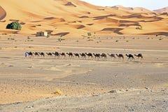 骆驼在尔格Chebbi沙漠,摩洛哥 免版税库存图片
