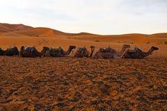 骆驼在尔格Chebbi离开摩洛哥非洲 库存照片