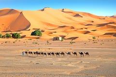 骆驼在尔格Shebbi在摩洛哥离开 免版税库存照片