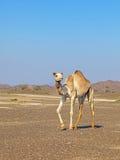 骆驼在岩石沙漠 库存图片