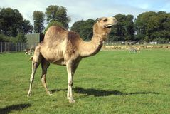 骆驼在徒步旅行队公园,英国 库存图片