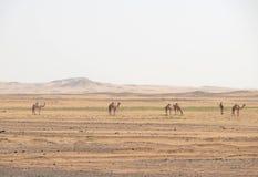 骆驼在撒哈拉大沙漠。 库存照片