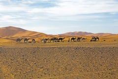 骆驼在撒哈拉大沙漠在摩洛哥 免版税库存图片