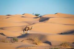 骆驼在撒哈拉大沙漠的沙丘沙漠 免版税库存照片