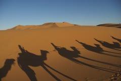 骆驼在撒哈拉大沙漠 免版税库存照片