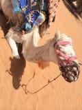 骆驼在撒哈拉大沙漠 库存照片