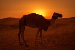 骆驼在日落期间的沙漠 库存照片