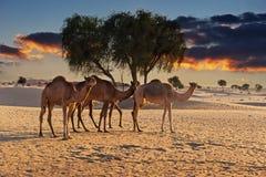 骆驼在日落的沙漠 库存照片