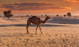 骆驼在日落的沙漠 免版税库存照片