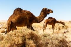 骆驼在沙漠在摩洛哥 图库摄影
