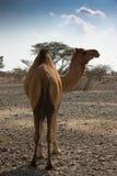 骆驼在沙漠在阿拉伯联合酋长国 免版税图库摄影