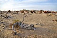 骆驼在沙漠 库存照片
