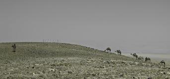 骆驼在沙漠Negev,以色列 免版税库存图片