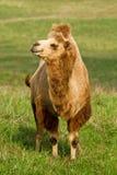 骆驼在牧场地 免版税库存图片