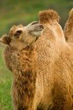 骆驼在牧场地 免版税库存照片