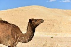 骆驼在犹太沙漠 库存照片