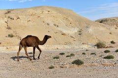 骆驼在犹太沙漠 图库摄影