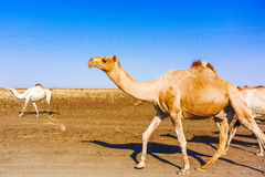 骆驼在苏丹 免版税库存图片