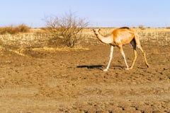 骆驼在苏丹 库存图片
