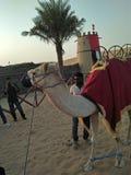 骆驼在迪拜 图库摄影